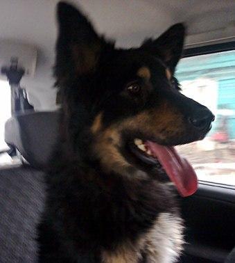 15 собака овчароидного типа барон
