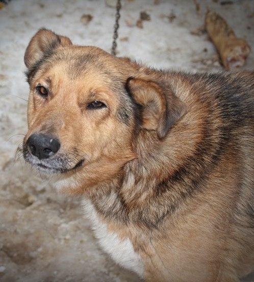 12 рыжий пес карат собака в дар карат